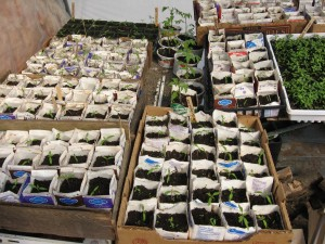 Baby tomatoes, peppers and eggplants in recycled milk cartons!